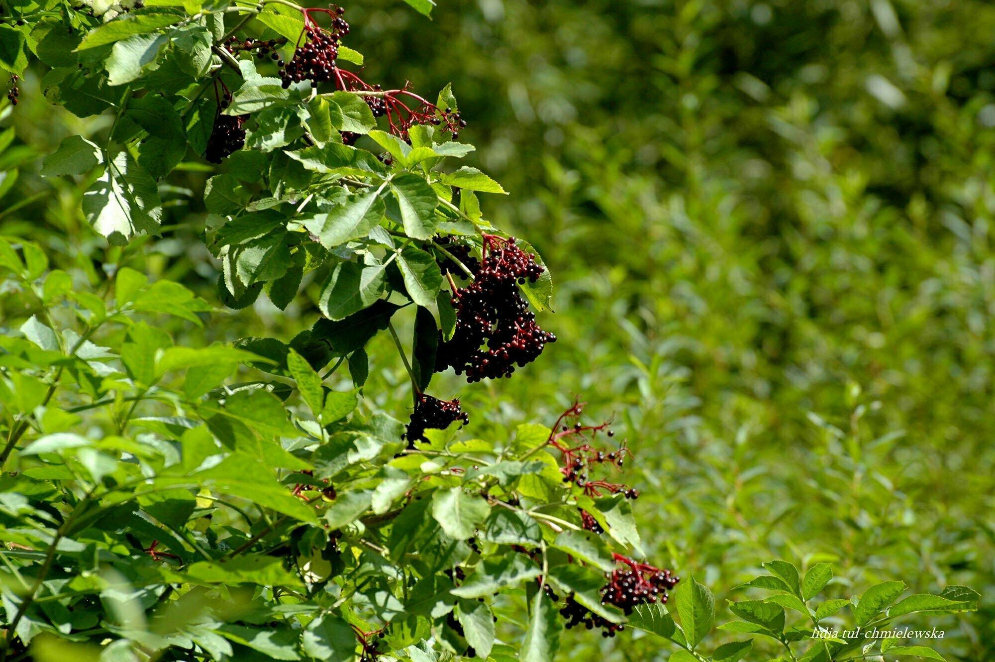 Owoce czarnego bzu / fot. Lidia Tul-Chmielewska
