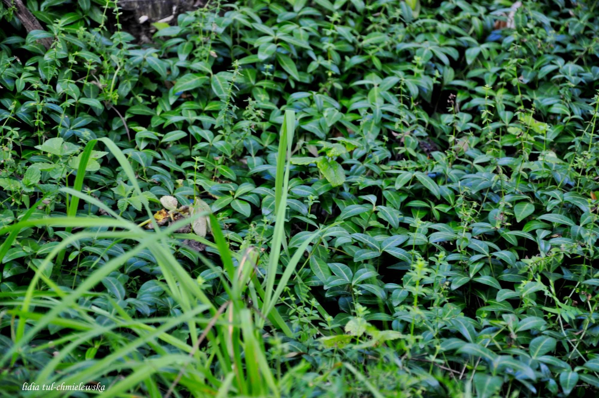 Balnica_wszystko pokrywa całunem zieleni barwinek(0)_32
