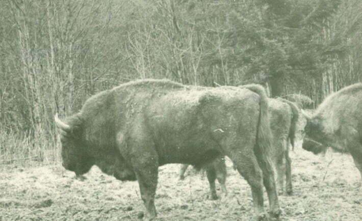 Żubry przywiezione do Bereżek - 1963 r./ Fot. H. Osiniak