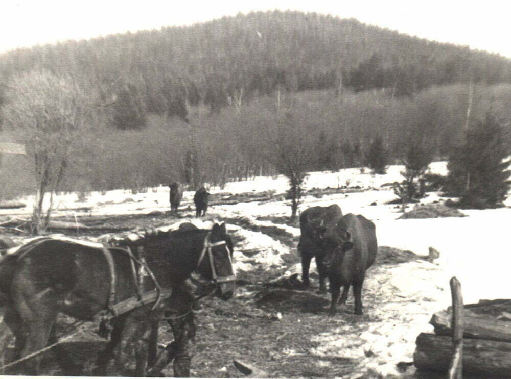 Żubry u koni 1965 r./Fot. Arch RDLP w Krosnie
