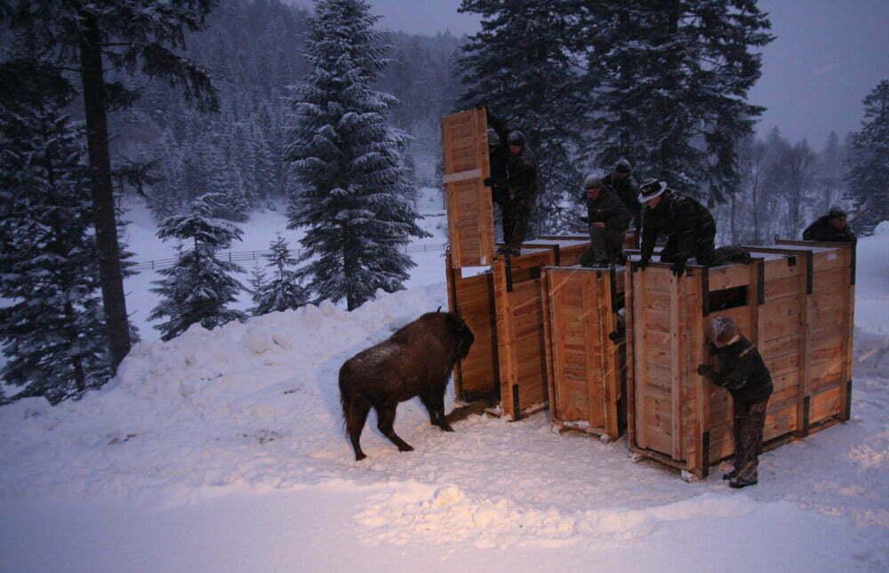 Pierwszy żubr w zagrodzie pokazowej k. Mucznego (luty 2012 r.)/ Fot. Edward Marszałek