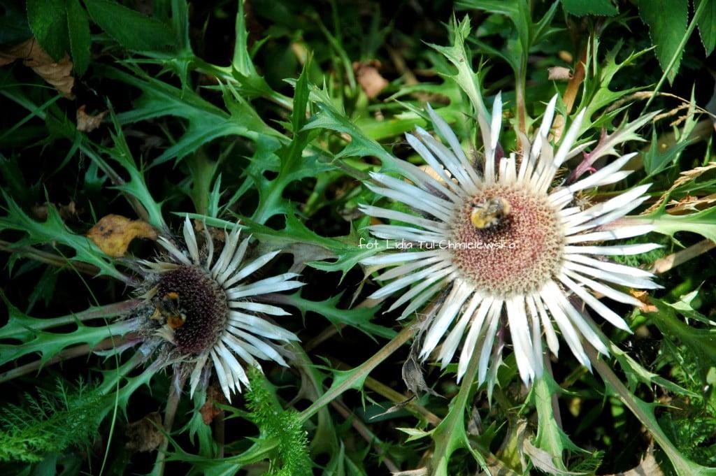Dziewięćsił- roślina pod ścisłą ochroną fot. Lidia Tul-Chmielewska