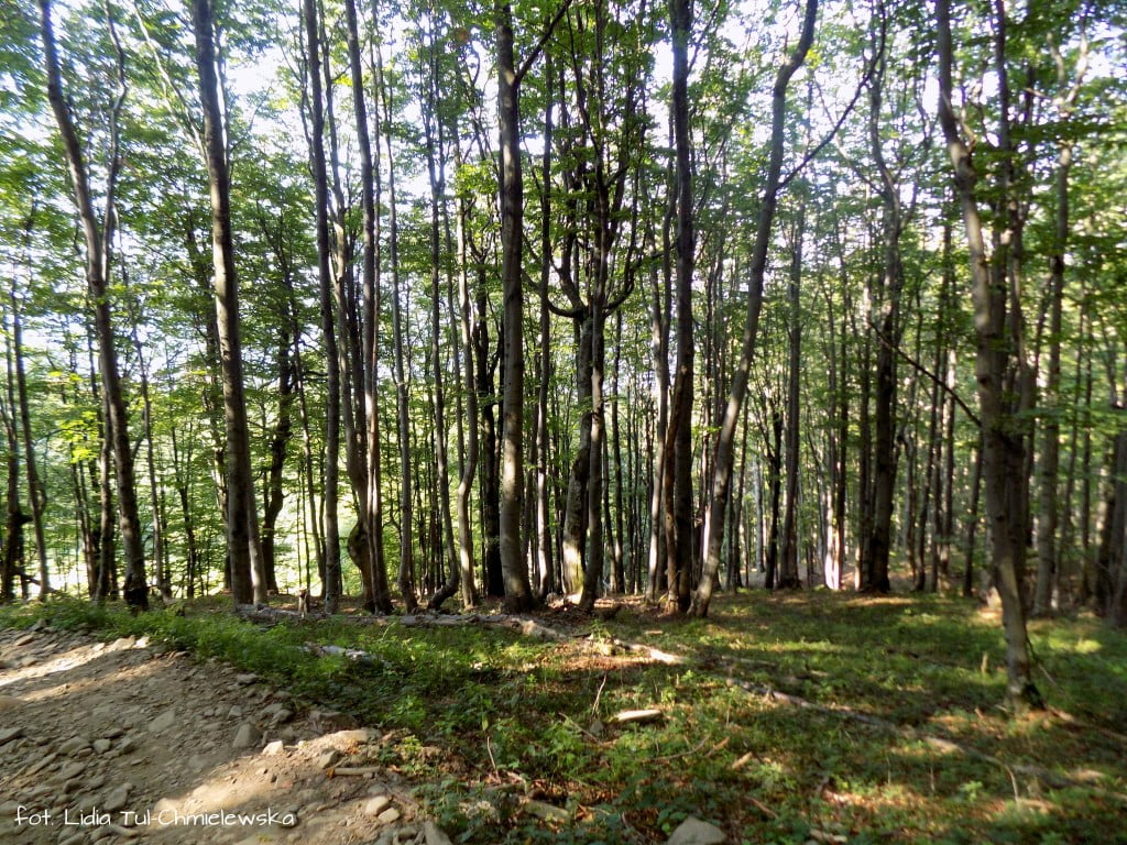 Las bukowy- fot. Lidia Tul-Chmielewska