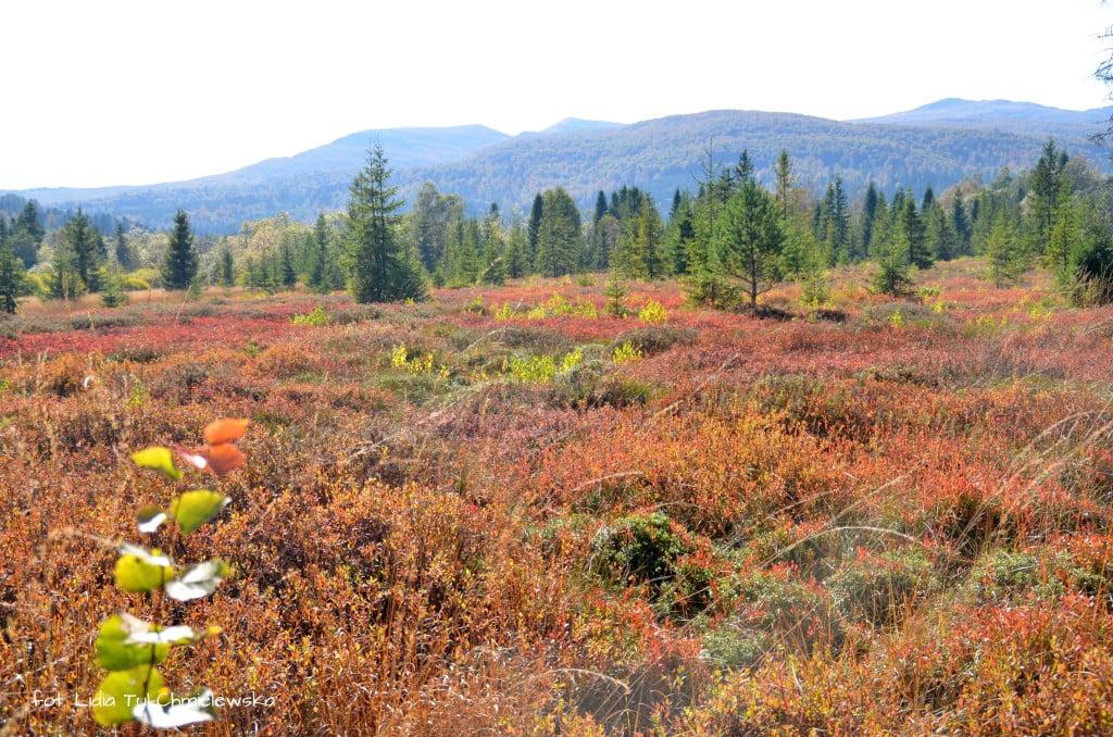 Barwy jesienne na torfowiskach fot. Lidia Tul-Chmielewska