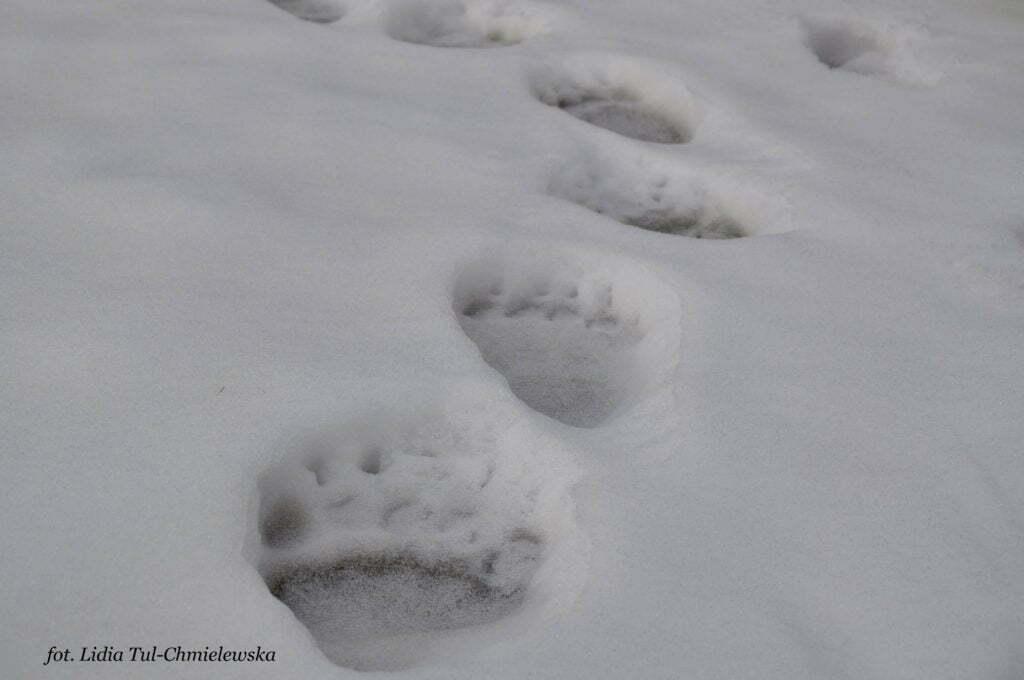 Trop niedźwiedzia - fot. Lidia Tul-Chmielewska