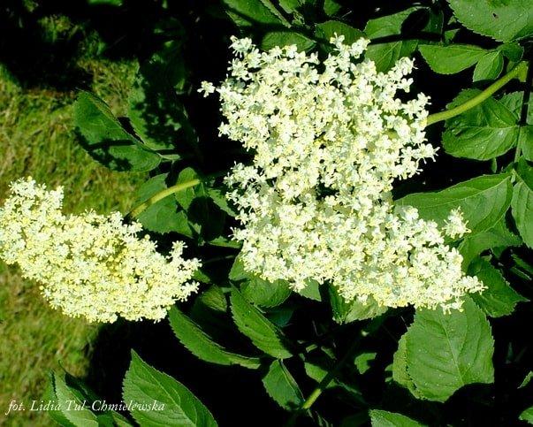 Kwiaty czarnego bzu / fot. Lidia Tul-Chmielewska