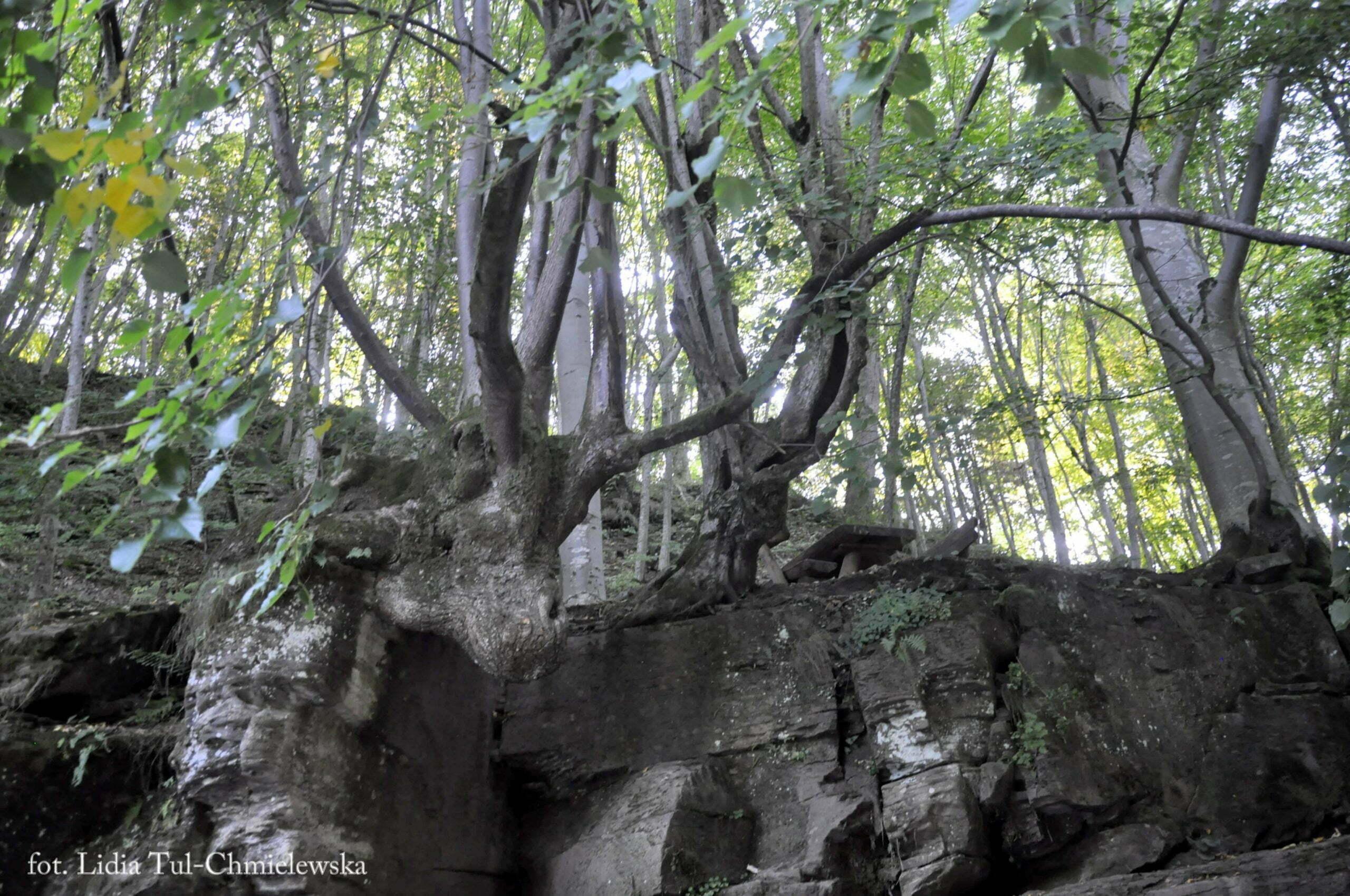Naturalny pomnik łosia / fot. Lidia Tul-Chmielewska