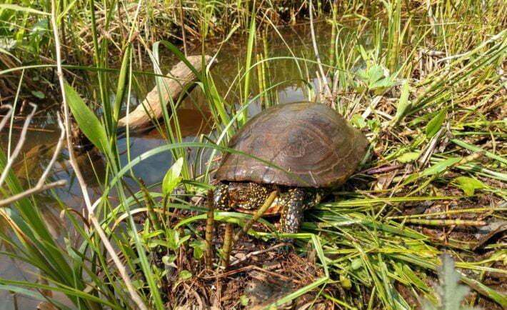 Żółw błotny w Bieszczadach / fot. Arkadiusz Komorowski, Facebook.com - Nadleśnictwo Cisna Lasy Państwowe