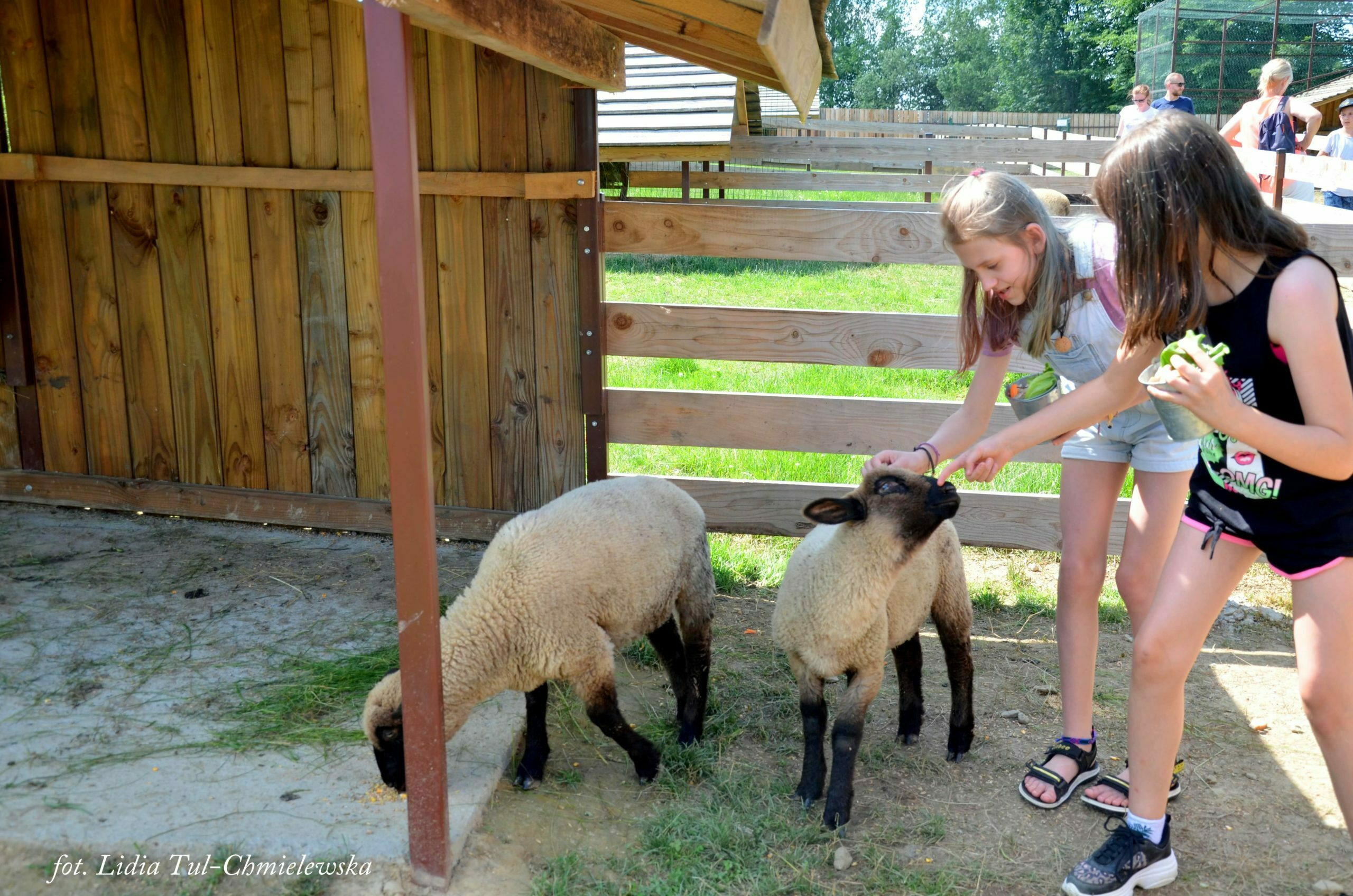 Owieczki Wiejskie zoo fot. Lidia Tul-Chmielewska
