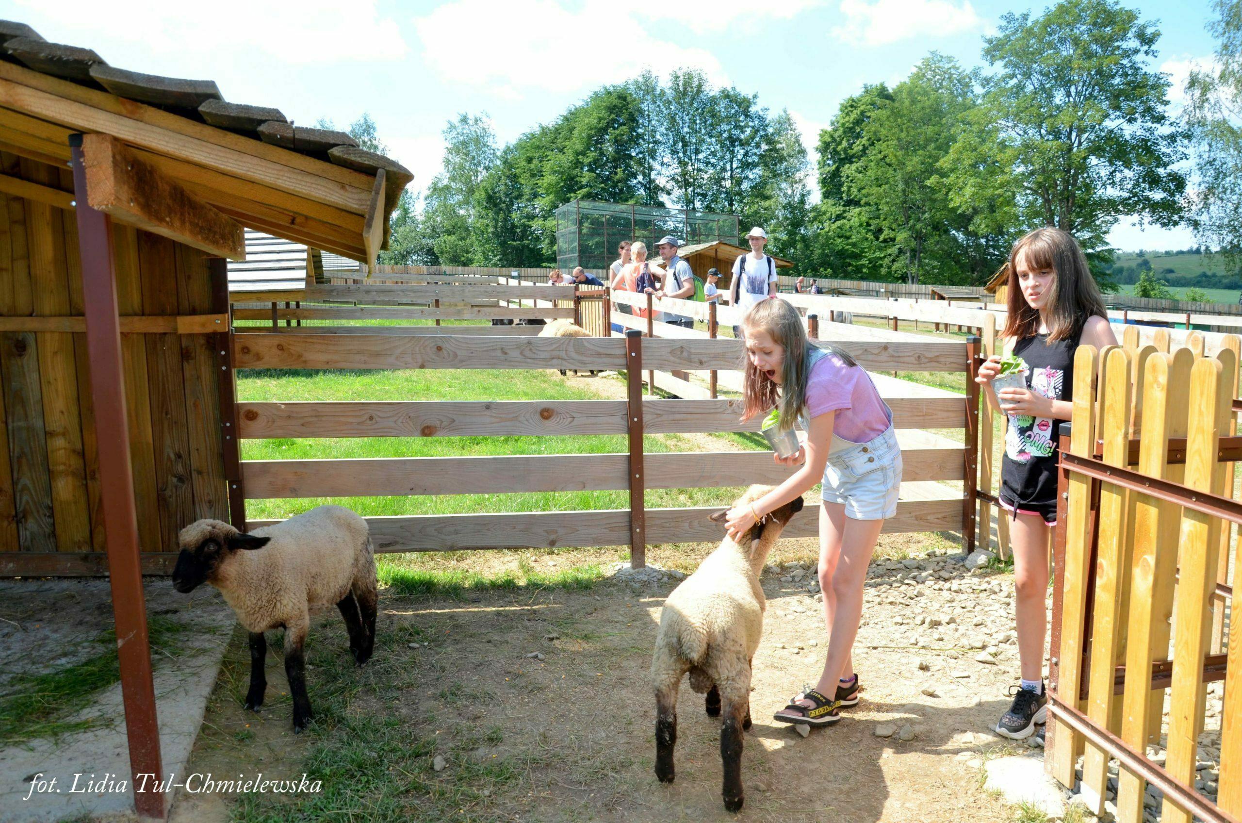 Wiejskie zoo owieczki fot. Lidia Tul-Chmielewska