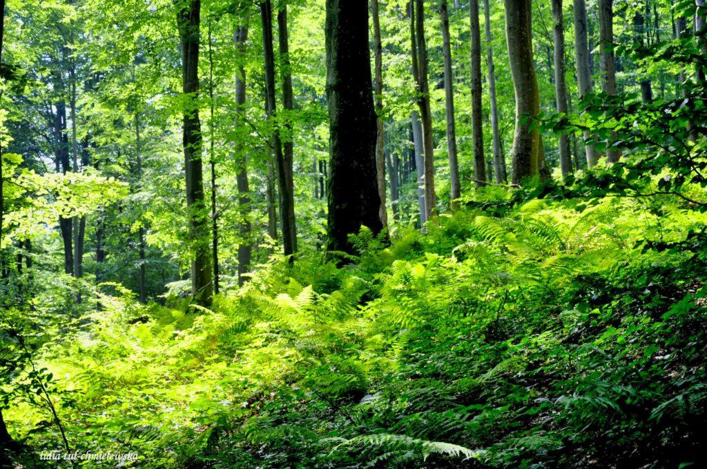 Bukowe lasy / fot. Lidia Tul-Chmielewska_1