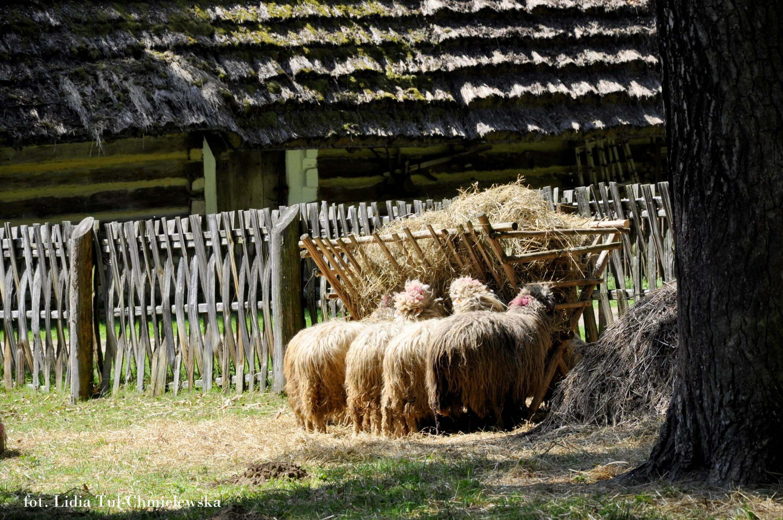 Bojkowie dbali o swoje zwierzęta fot. Lidia Tul-Chmielewska