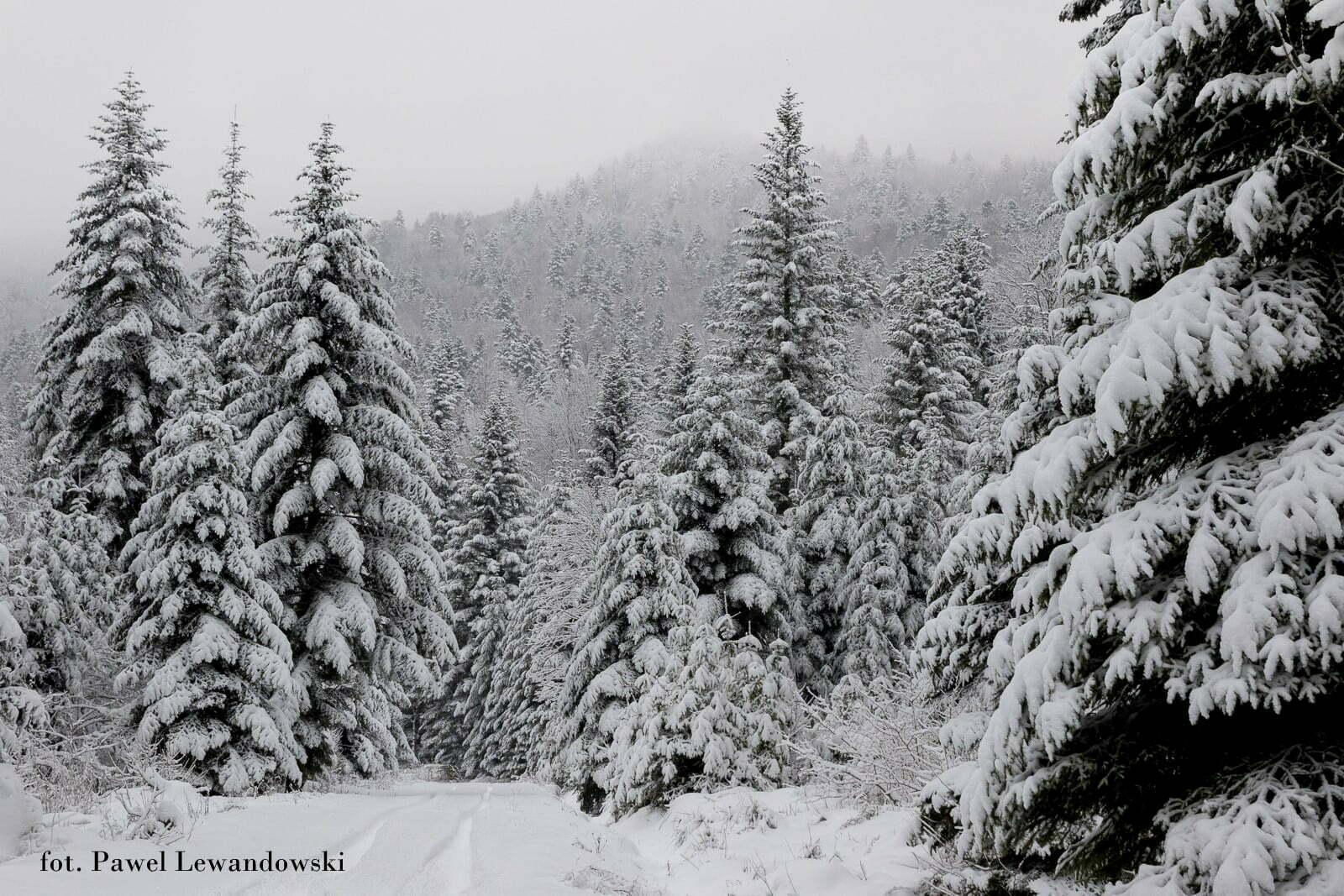 Las w pokrywie śnieżnej fot. Paweł Lewandowski