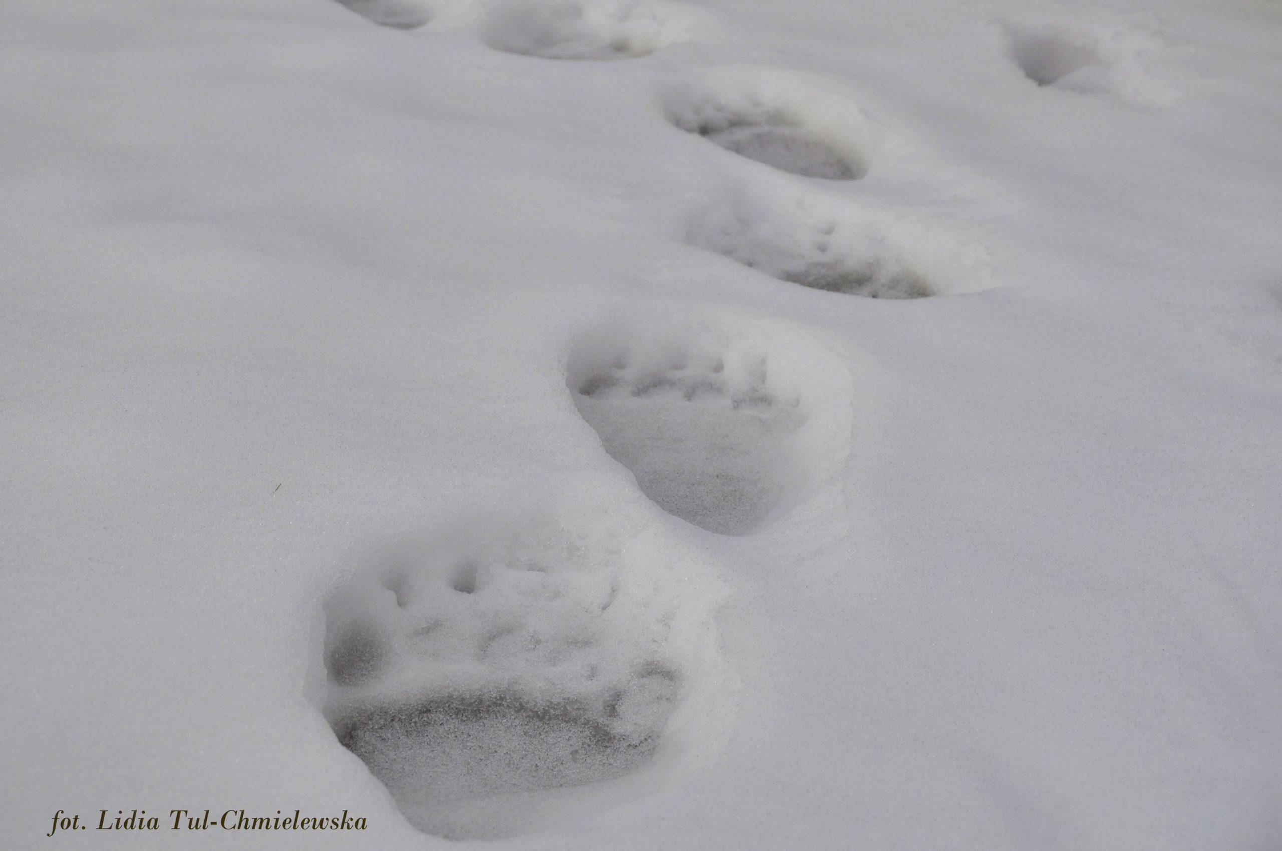 Misiowe ślady na sniegu fot. Lidia Tul-Chmielewska