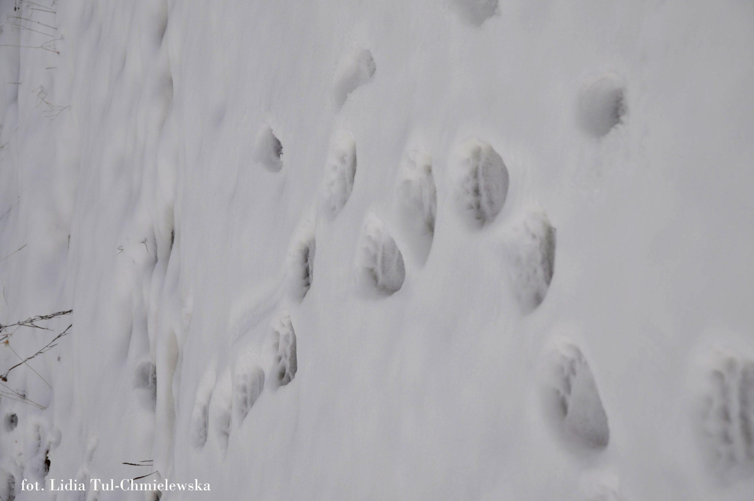 Tropy niedźwiedzia fot. Lidia Tul-Chmielewska