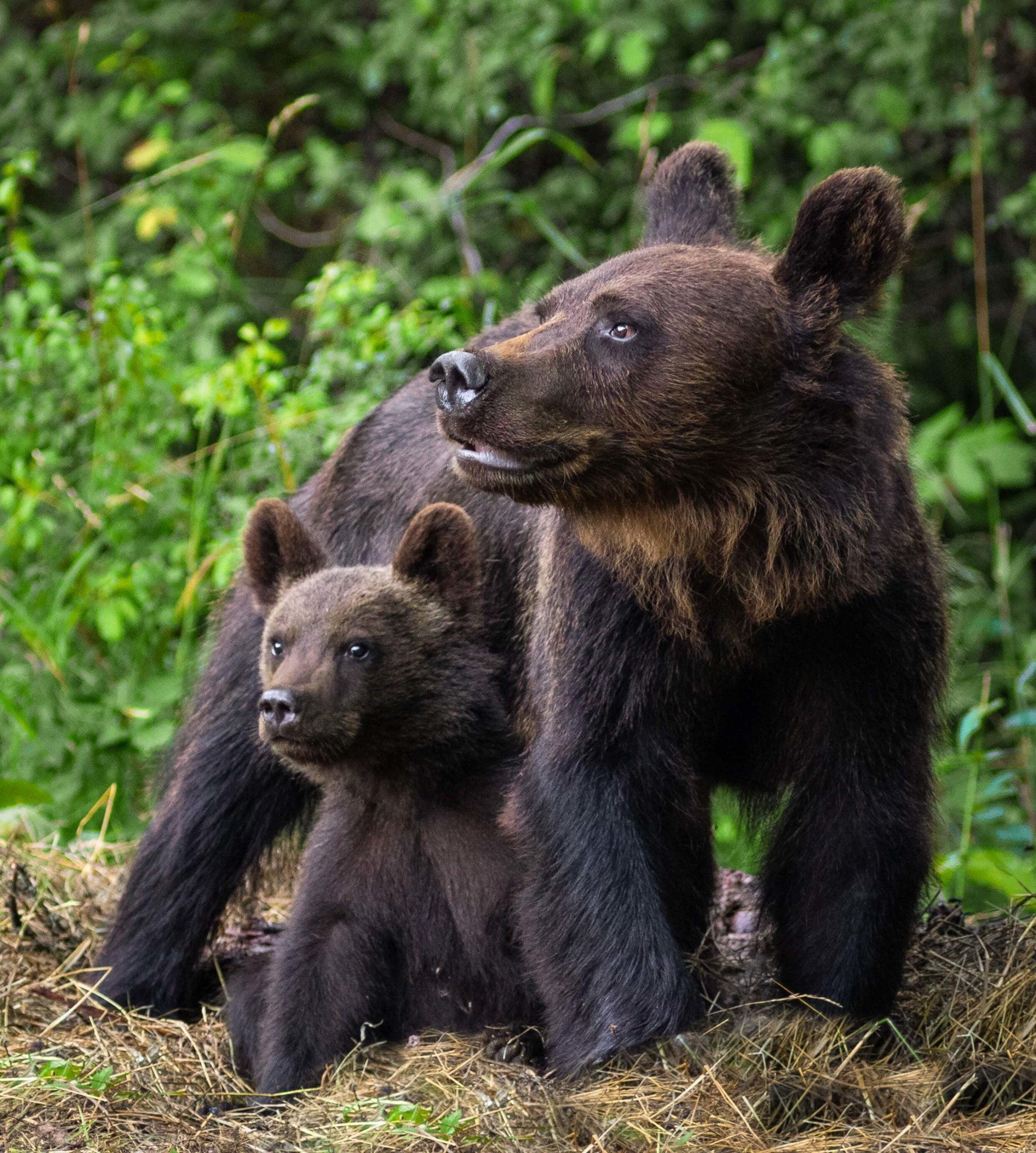 Niedźwiedzica z młodym niedźwiadkiem / fot. Paweł Lewandowski