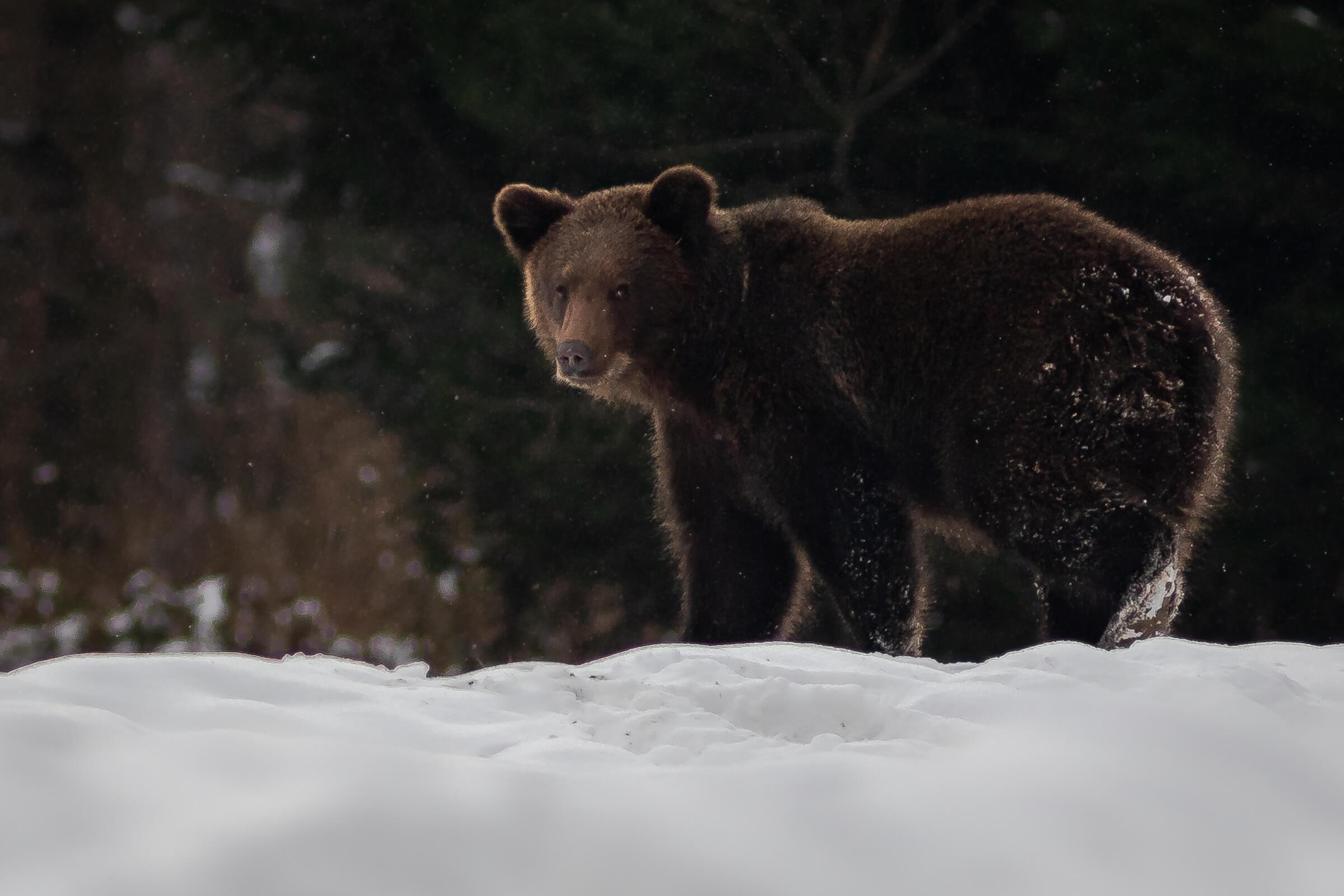 Niedźwiedź w zimie w Bieszczadach / fot. Paweł Lewandowski