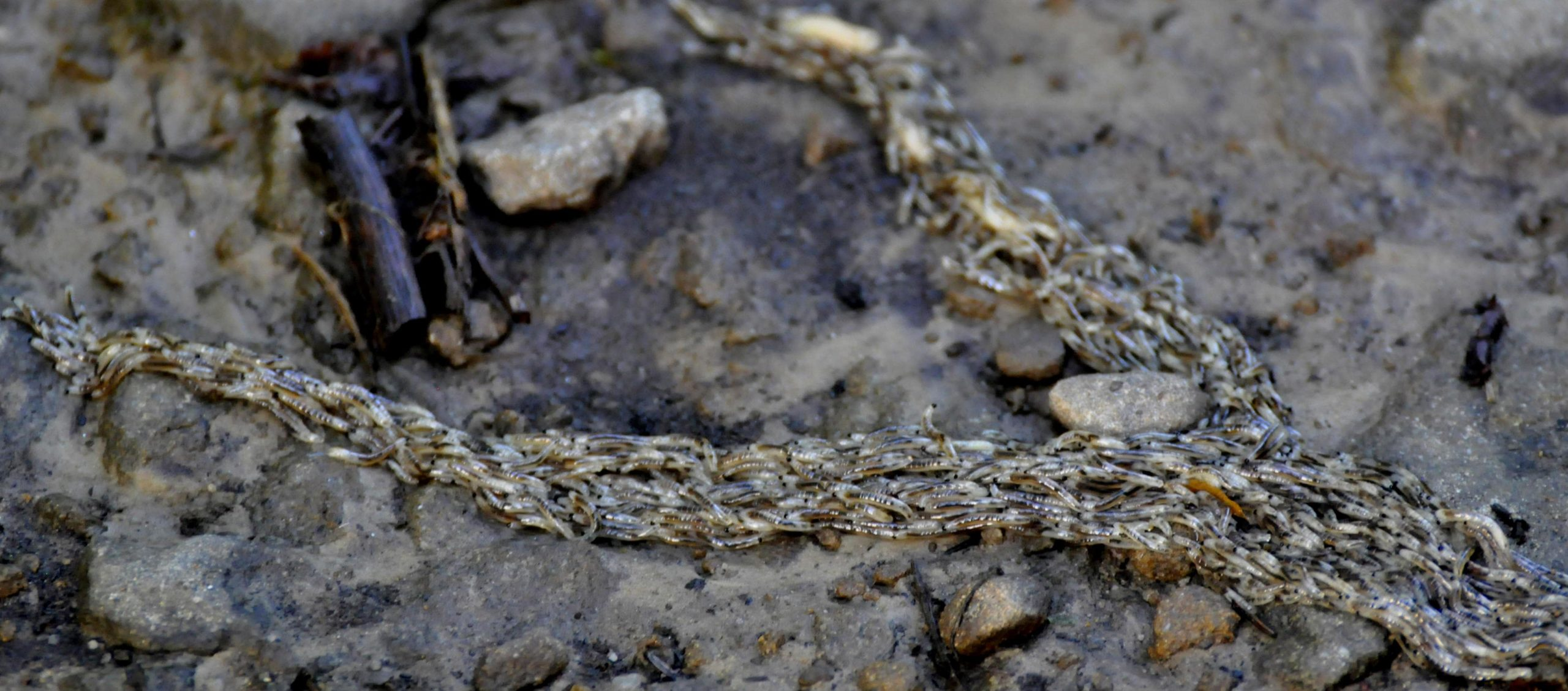 Larwy muchówki pleń fot. Lidia Tul-Chmielewska
